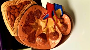How Is Kidney Function Related to Blood Pressure?